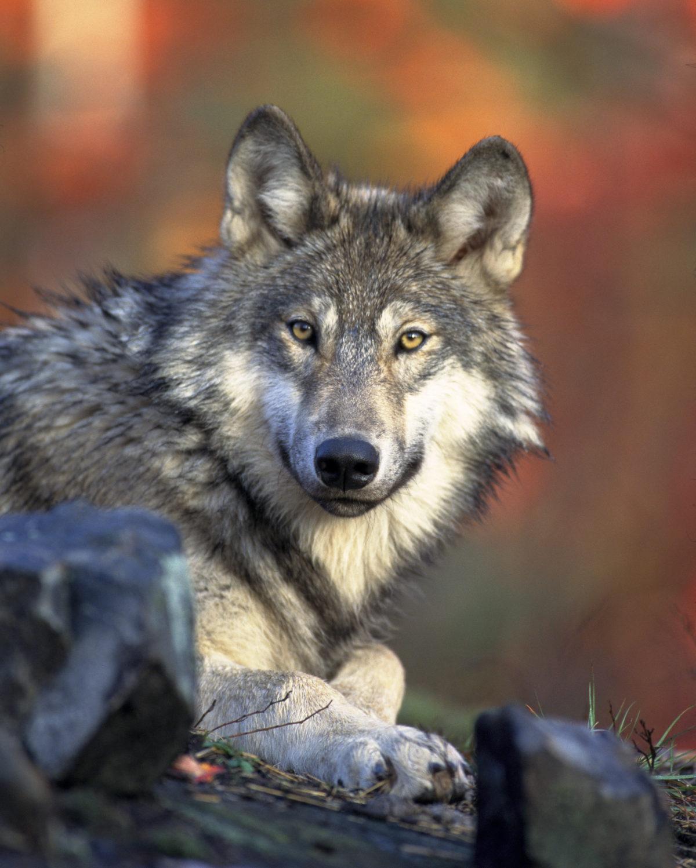 27. august 2014: Vår venn ulven