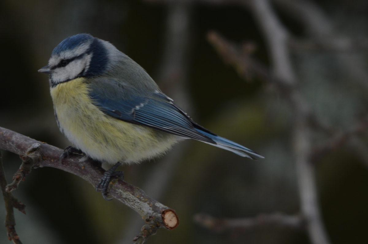 17. desember 2014: Fuglelivet i plommetreet