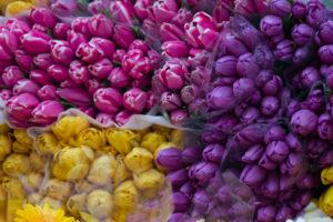 tulipaner-flere-farger